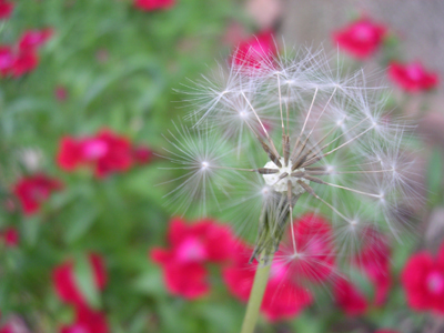 dandelion and blurry red flowers on green bg