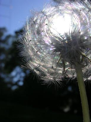 picture of a dandelion