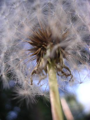 picture of a dandelion