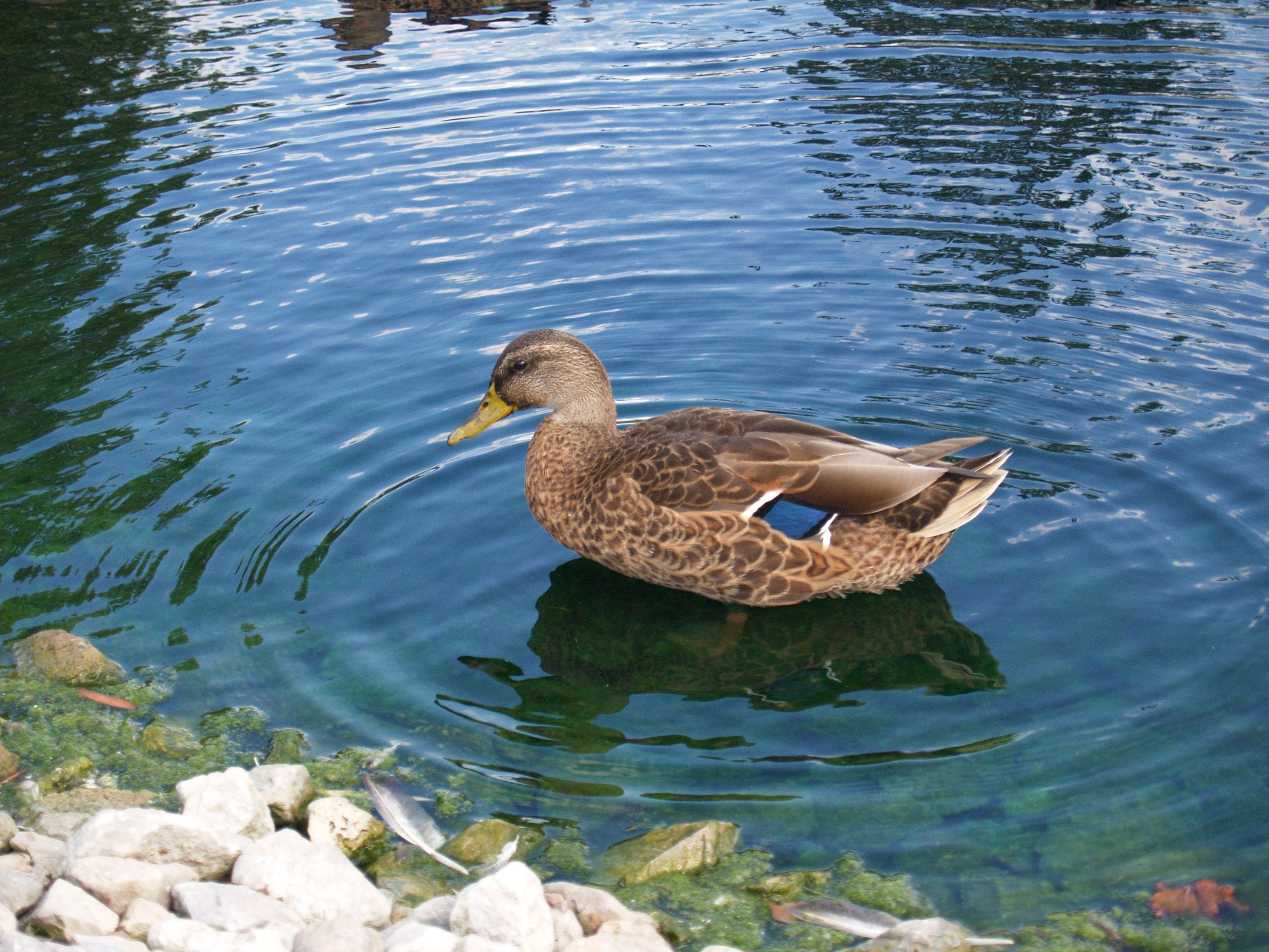Hd Animal Wallpapers Hd Duck Wallpapers